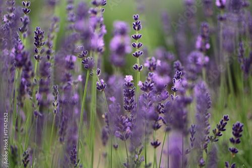 Papiers peints Lavande lavender field - closeup