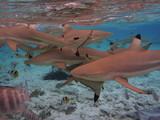 Requins Tahiti Bora Bora - 171485694