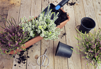 Preparing the garden for the autumn. Planting autumn flowers in pots, heather in garden, gardening in autumn season