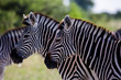 Profile of Two Zebras Heads