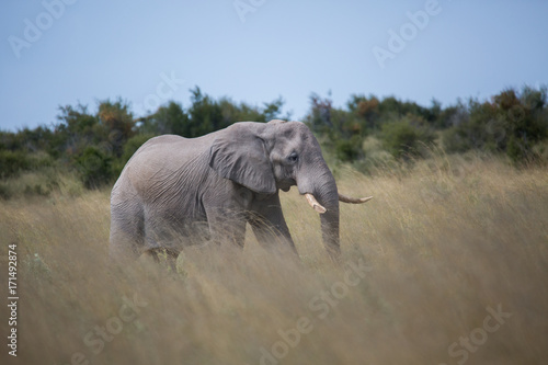 Elephant in tall grass Poster
