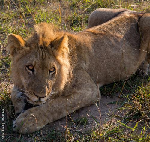 Fotobehang Lion Male adolescent Lion close up playful look