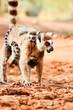 Ringtailed lemur, Lemur catta, in Berenty reserve Madagascar