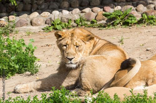 lion pride rests after hunting Poster