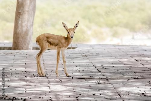 Fotobehang Hert Baby deer in Abu Dhabi