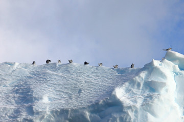 Kelp Gulls and Arctic Terns flying and sitting on iceberg, Antarctic Peninsula, Antarctica
