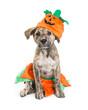 Puppy Wearing Pumpkin Halloween Costume