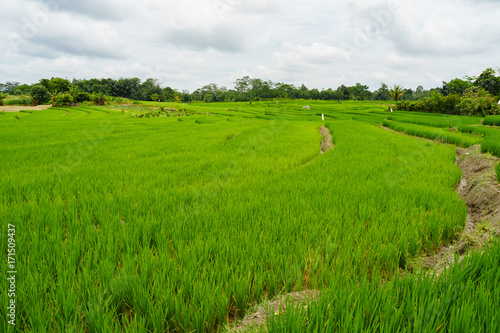 Aluminium Rijstvelden Green rice field at Sumatra - Indonesia
