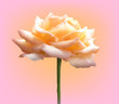 light cream single rose on pink background