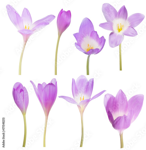 collection of eight lilac crocus flowers on white