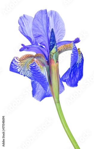 Aluminium Iris bright blue iris bloom isolated closeup