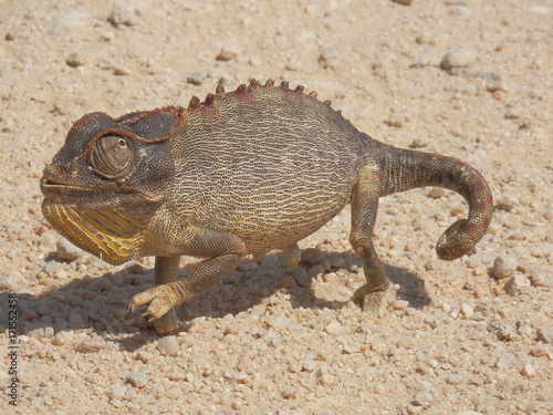 Fotobehang Kameleon namibie