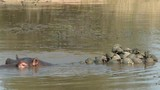 Turtoises on the back of a Hippopotamus in a small pond - 171556088