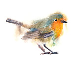 watercolor art illustration with robin bird - 171557854
