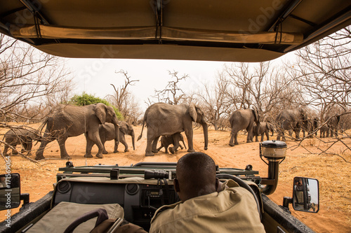 observing Elephants crossing the road, Chobe River, Chobe National Park
