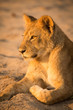 Lion pride, Chobe National Park, Botswana