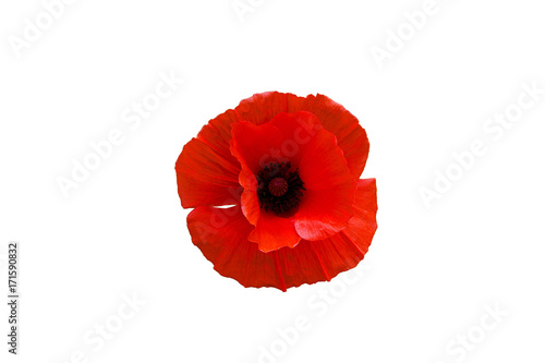 Red poppy flower isolated on white background - 171590832