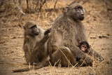 Baboon , South Africa