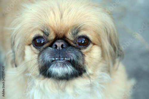 Deurstickers Kiev A pekingese dog portrait. Close-up shot.