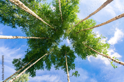 Plexiglas Berkenbos Crowns of tall birch trees above his head in the forest against a blue sky. Wild nature of the forests. Deciduous forest in summertime