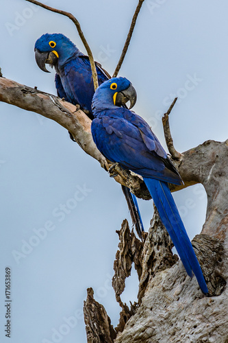 Fotobehang Papegaai Hyacinth Macaw (Anodorhynchus hyacinthinus) lives in the biomes of the Amazon and especially in the Cerrado and Pantanal. This species is threatened with extinction. Captive animal.