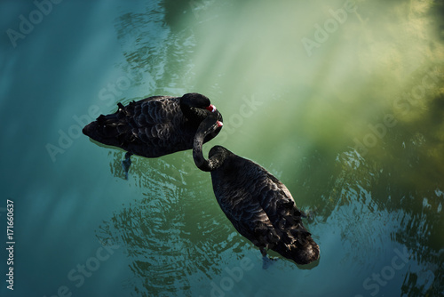 Fotobehang Zwaan Two black swans float in pond water
