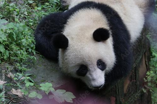 Fotobehang Panda Sleeping Panda on the Green Yard, Chengdu, China