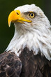 Vertical photo of a bald eagle's head and chest with a dark background