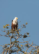African Fish-Eagle, Okavango Delta