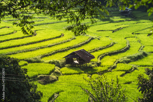 Foto op Aluminium Rijstvelden Rice fields in bright nature with evening light hut in the middle of the rice field