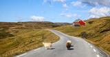 Schafe auf Strasse