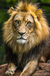 Vertical photo of a lion lying on rocks looking at the camera with a dark green background