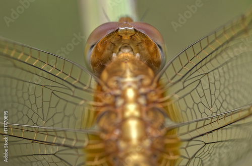 close up view Yellow dragonfly resting sitting on a stick Poster