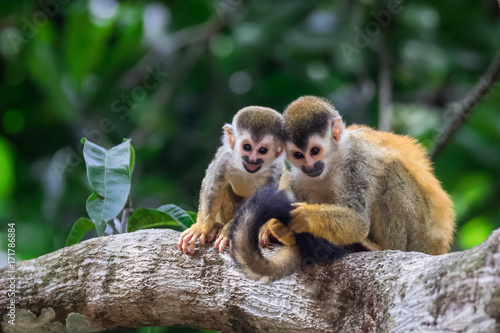 pair of baby squirrel monkeys in tree smiling and huddled together Poster