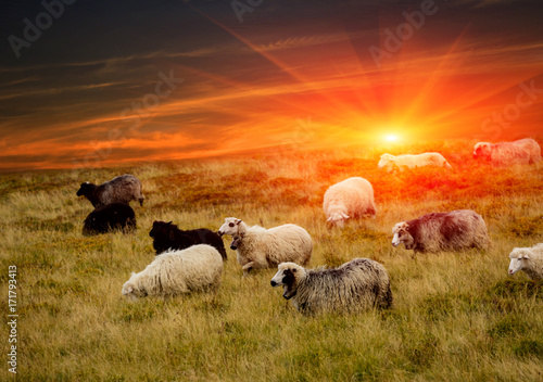 Staande foto Oranje eclat sheeps in mountains and sunset