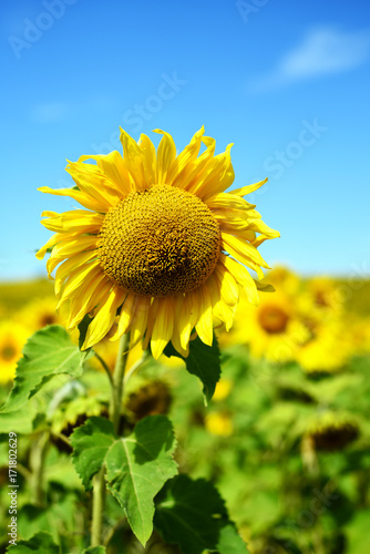 In de dag Geel Single Large Sunflower with Sky