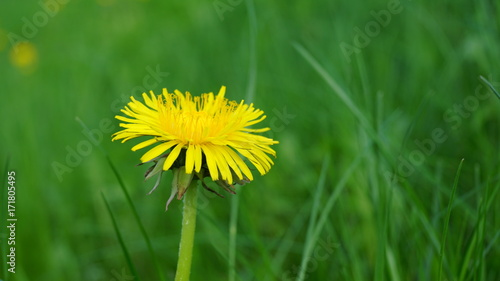 Fotobehang Groene Blooming yellow dandelion flowers on field.