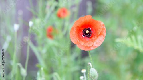 Foto op Plexiglas Klaprozen Blühende Mohnblume in einem Garten