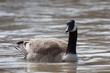Isolated Canada Goose Wading In the Water