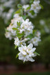 White Flower Blossoms on an Apple Tree
