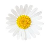 Close-up of Chamomile (Ox-Eye Daisy ) isolated on white background. - 171833417