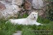 White tiger lying