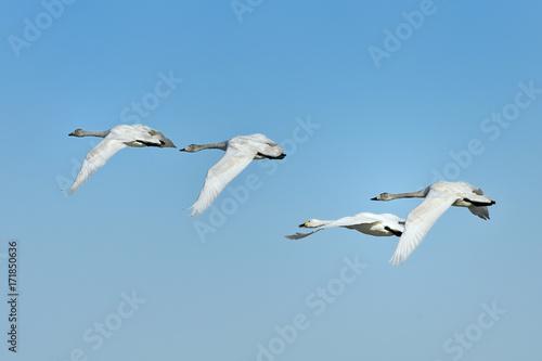 Fotobehang Zwaan 白鳥のひ