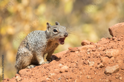 Poster Arizona Squirrel on alarm in the Grand Canyon