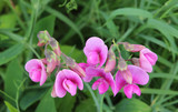 pink vetches in a meadow, closeup - 171873249