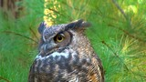 Close up of great horned owl turning its head to look at the camera.