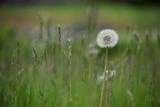 dandelion in a meadow
