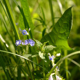 Veronica flowers and forest herbs. Wild nature in the city. - 171898832