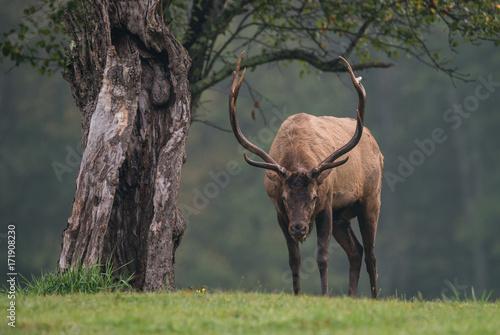 Fridge magnet Bull Elk