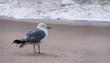 Seagull at Ocean with Wet Beak